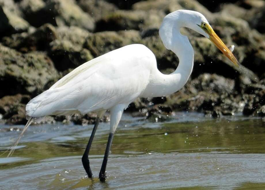 A Great Egret eats a fish on Sabine Pass, Sunday. Photo: TAMMY MCKINLEY