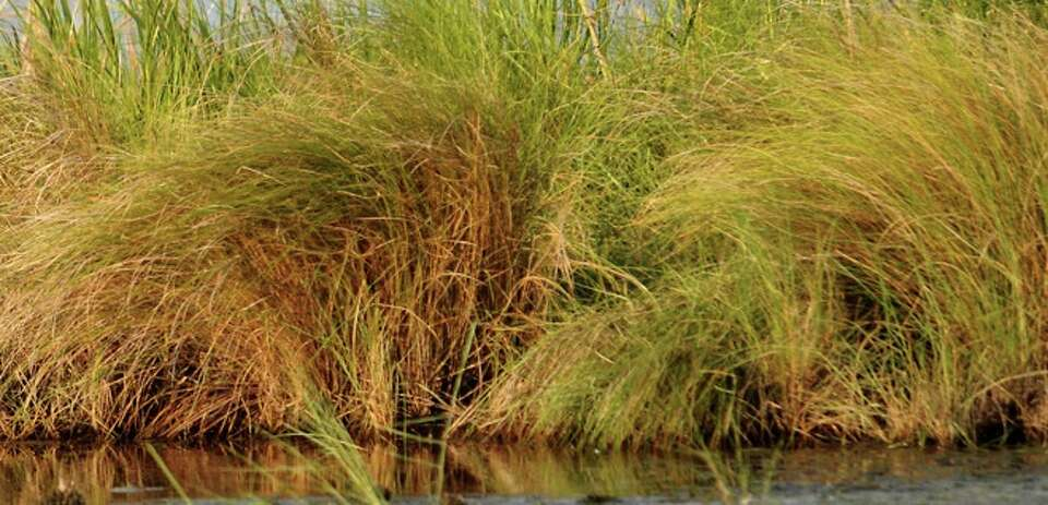 Marsh grasses grow in the wetlands on Sabine Pass, Sunday.