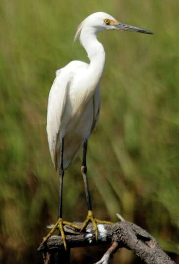 A Snowy Egret sits on a branch in the marshes of Sabine Pass, Sunday.