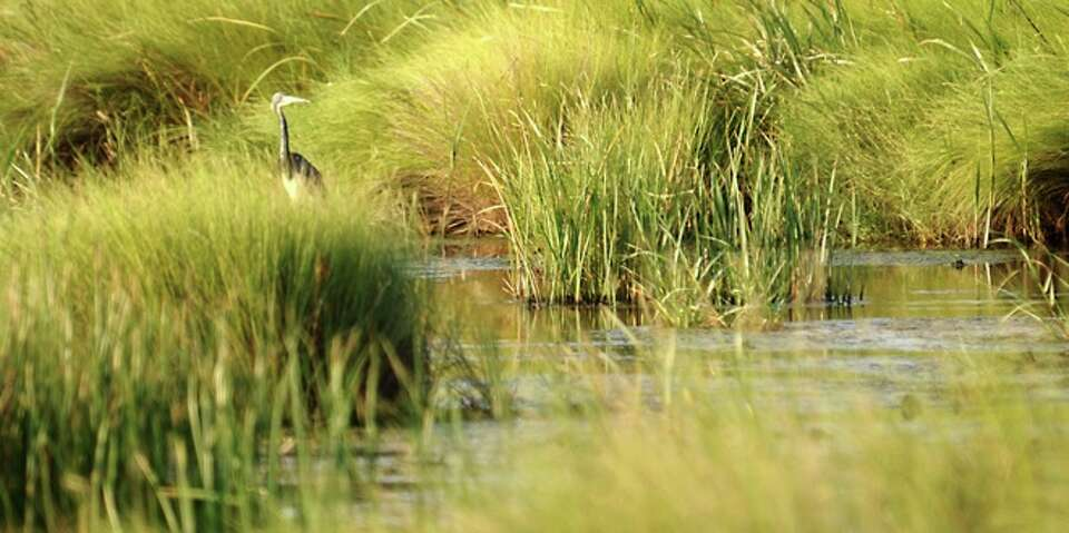A Blue Heron feeds in the tall grasses in the marsh lands on Sabine Pass, Sunday.