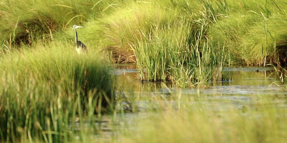 A Blue Heron feeds in the tall grasses in the marsh lands on Sabine Pass, Sunday. Photo: TAMMY MCKINLEY