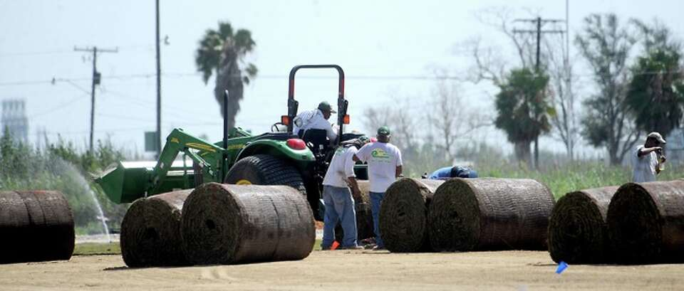 Workers lay new sod on the football field that was damaged during Hurricane Ike as the team practice