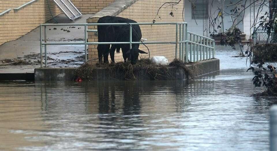 Two cows graze on flood debris on the handicap ramp at  Sabine Pass High  School in  Sabine Pass, Su