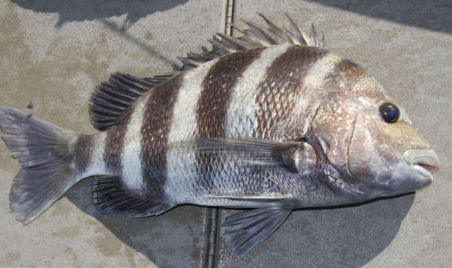 When all else failed sheepshead fishing saved the day for Sheepshead bay fishing