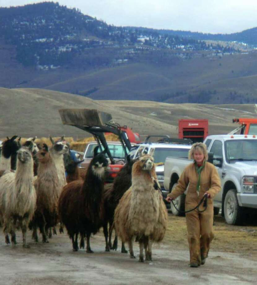Some of the 100 severely neglected and feral llamas are walked to a trailer in Montana on Monday before being driven cross-country to Middleburgh, Schoharie County. They are expecte to arrive Saturday. (Photo courtesy of AniMeals)
