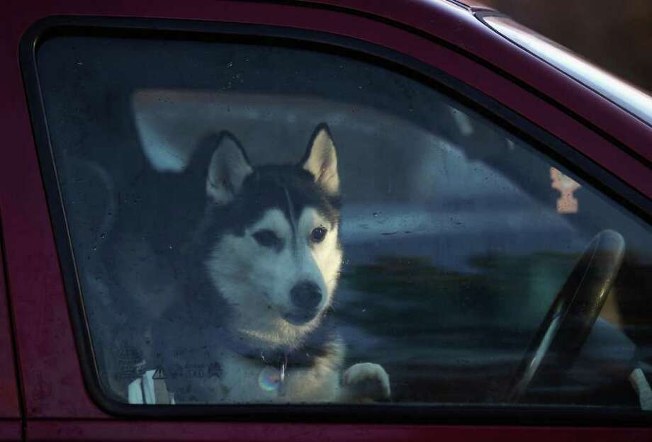 AVIEMORE, SCOTLAND - JANUARY 20:  A husky sits in a car during preparations for the 28th annual Aviemore Husky Sled Dog Rally on January 20, 2011 Aviemore, Scotland. Over 1,000 dogs will take part in the biggest event in the Husky dog calendar with teams coming from as far as the Isle of Wight and Devon for one of the most challenging and prestigious races.  (Photo by Jeff J Mitchell/Getty Images) Photo: Jeff J Mitchell