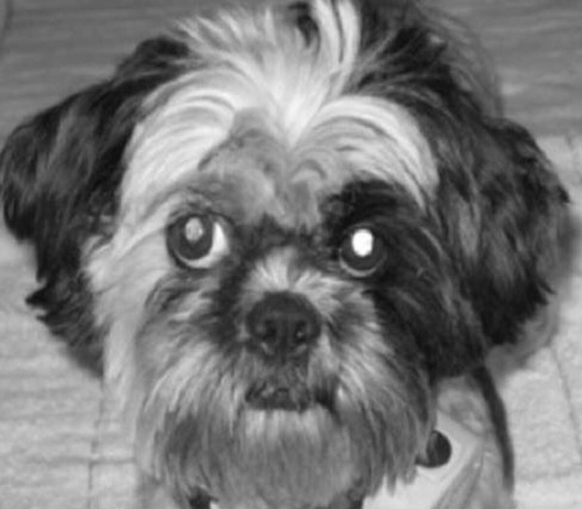 Maisie, a missing Shih Tzu, was found and returned to her owner on Thursday.