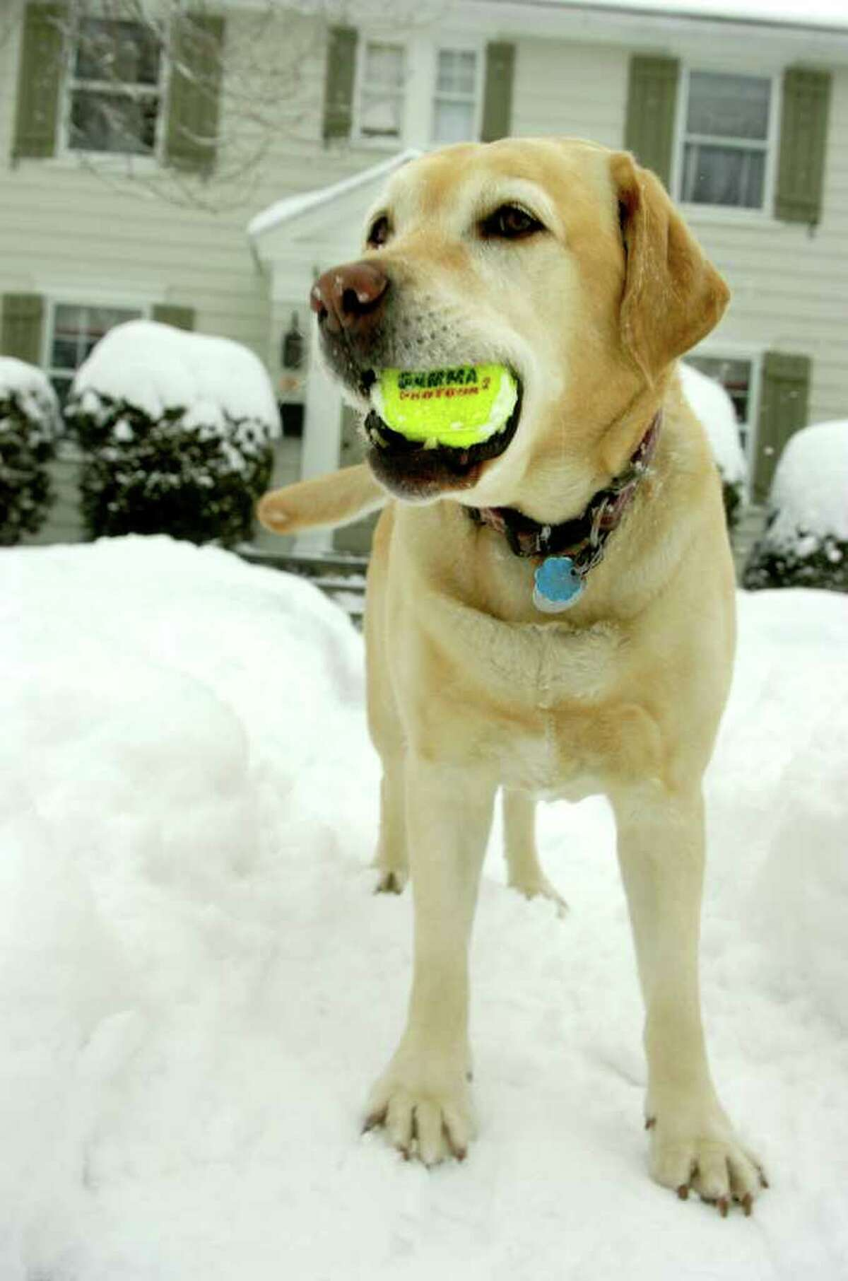 Nikki retrieves a tennis ball in the snow in Fairfield Wednesday, January 26, 2011.