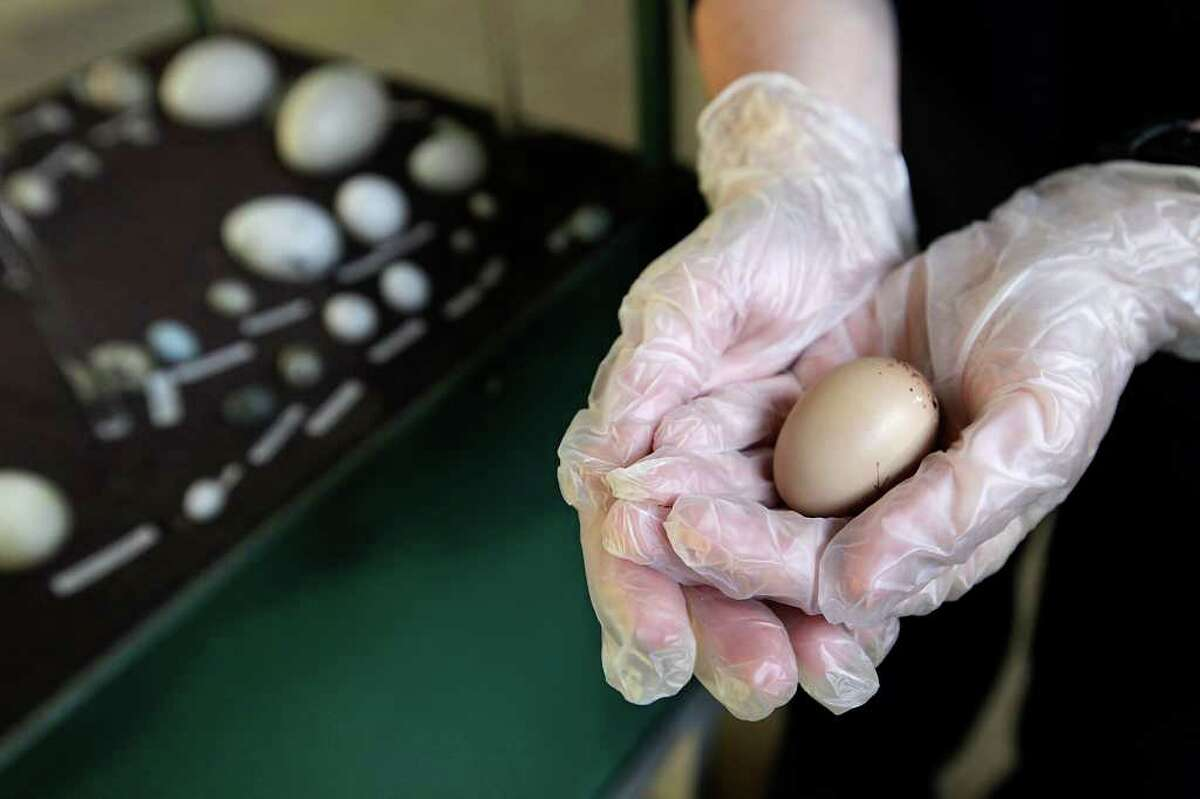 The zoo's Mari Brown holds a sun bittern egg that's being incubated while the parent bird sits on an egg filled with plaster of Paris.