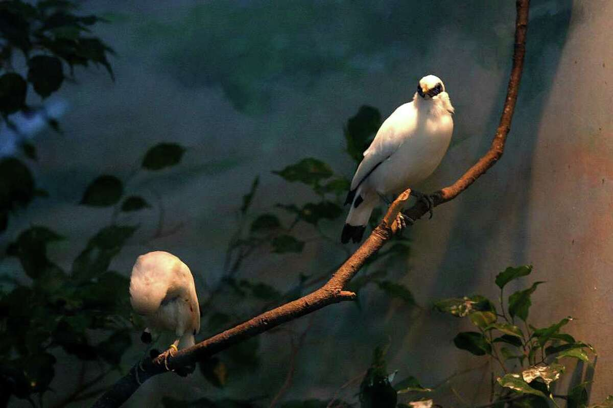 These two Bali Myna birds are part of a group living at the San Antonio Zoo. The Bail Myna is an endangered species, with just 16 to 24 believed to remain in the wild. Two of the birds were born at the zoo in November after being incubated. The zoo and SeaWorld San Antonio hosted a three-day egg incubation workshop this week.