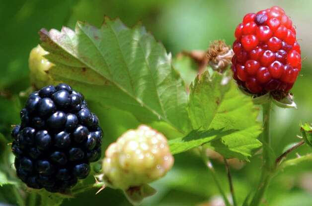 There are several blackberry varities suited for this area. Photo: Express-News File Photo / San Antonio Express-News