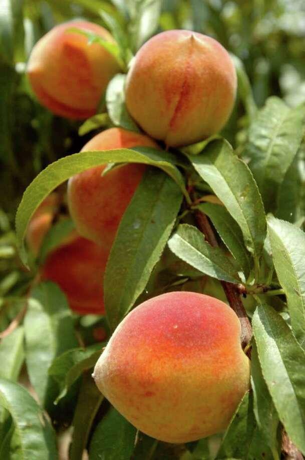 Peaches Ripen On The Branch At Psencik Peach Farm Owners Bill And Sue