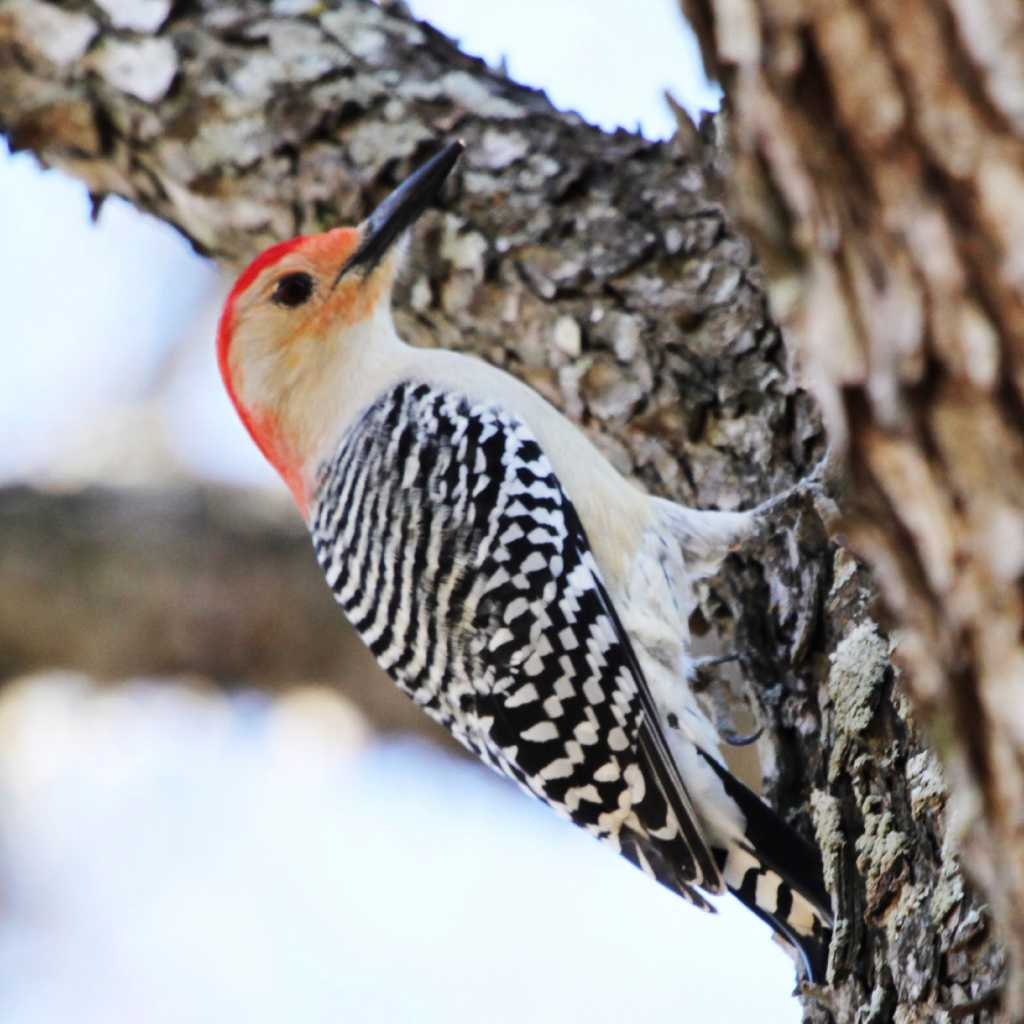 Arrival Of Woodpeckers Is A Welcome Event