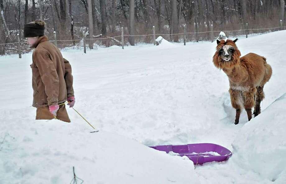 Hannah Conroy, 15, pulls a sled followed by Griffin, an alpaca, at her home at Wunsapana Farm in Altamont, NY, on February 2, 2011. (Lori Van Buren / Times Union) Photo: Lori Van Buren