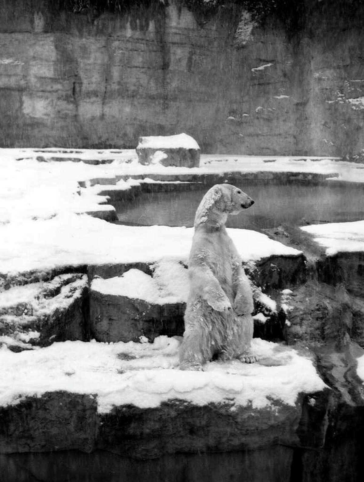 This Polar bear at the San Antonio Zoo is enjoying the record snow in San Antonio, Texas. Published in the San Antonio Light on January 30, 1949.