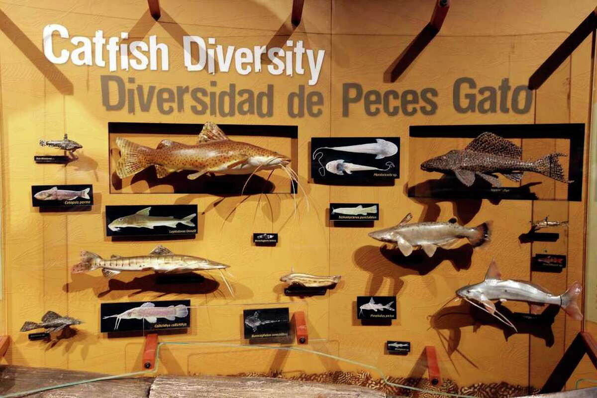 A section of the catfish display part of the 'Amazon Voyage: Vicious Fishes and Other Riches' exhibit.