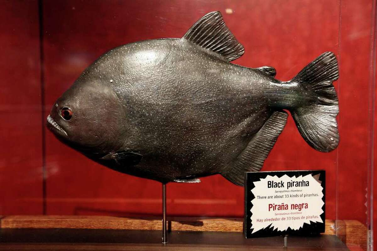 A model of a black piranha part of the 'Amazon Voyage: Vicious Fishes and Other Riches' exhibit.