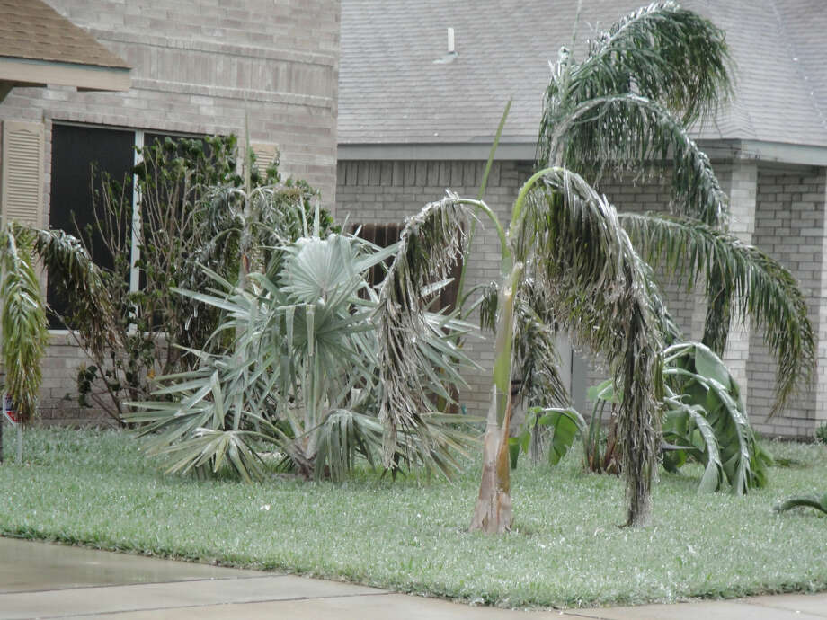 Palm trees are weighed down with ice in Los Fresnos, TX. Photo: Lynn Brezosky