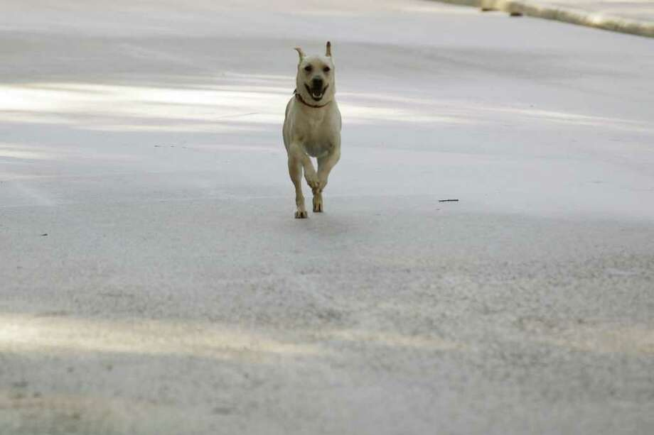 METRO -- A dog runs in front of its owner on a frozen street at the Villages of Westcreek subdivision on the city's far west side, Friday, Feb. 4, 2011.  JERRY LARA/glara@express-news.net Photo: JERRY LARA, San Antonio Express-News / glara@express-news.net