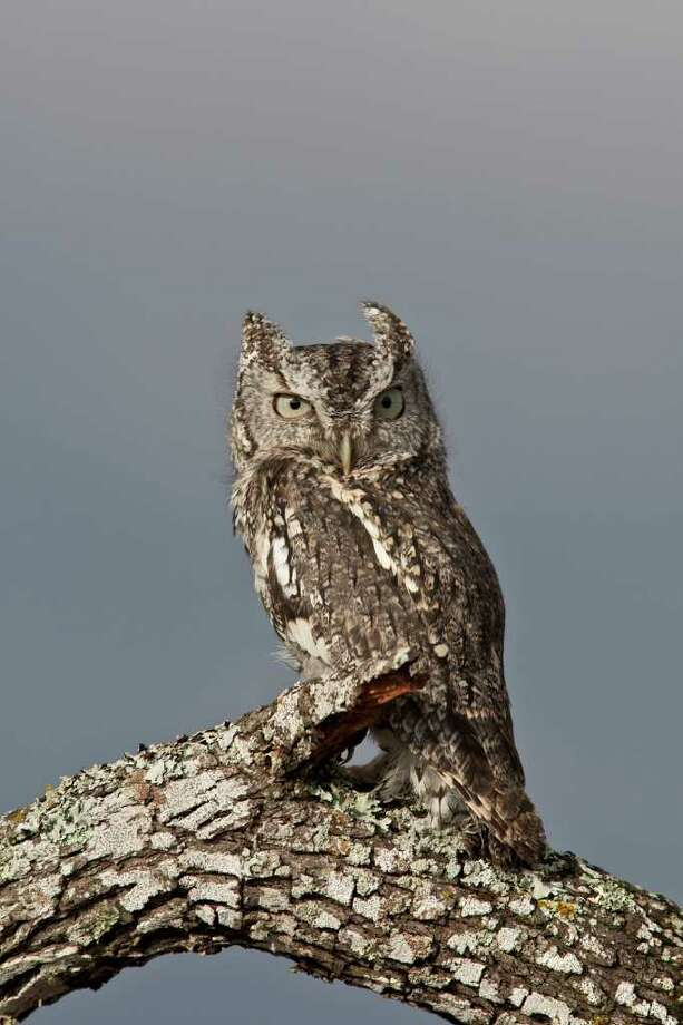 Eastern screech owls are difficult to ignore - San Antonio