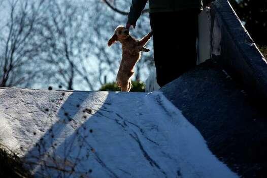METRO - Mickey, owned by the Hernandez family, enjoys the snow in San Antonio on Friday, Feb. 4, 2011. LISA KRANTZ/lkrantz@express-news.net Photo: LISA KRANTZ, SAN ANTONIO EXPRESS-NEWS / SAN ANTONIO EXPRESS-NEWS