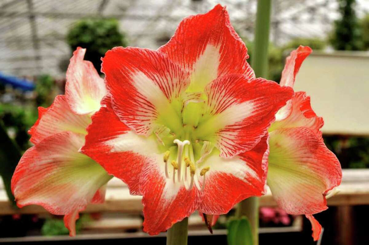 An amaryllis at Lexington Gardens in Newtown, on Tuesday, March 23, 2010.
