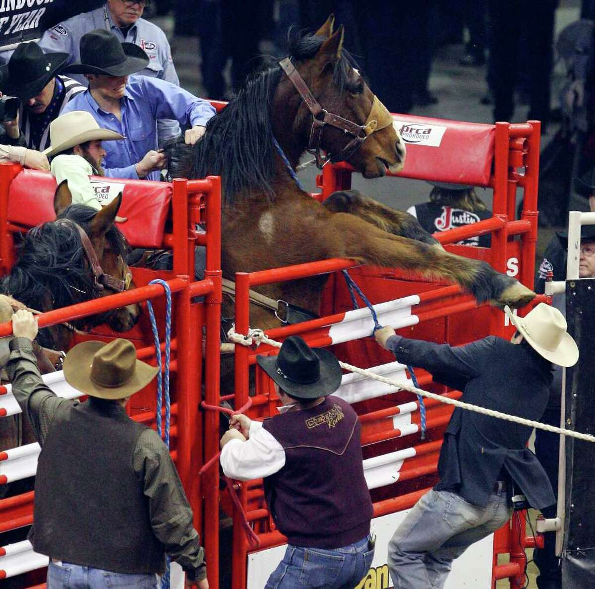 FOR METRO - A horse rears up in the chute before Jace Garrett's, from Alliance, NE , ride in the Saddle Bronc Riding event Saturday Feb. 5, 2011 during the San Antonio Stock Show & Rodeo at the AT&T Center. Garrett scored a 75 on the ride. (PHOTO BY EDWARD A. ORNELAS/eaornelas@express-news.net)