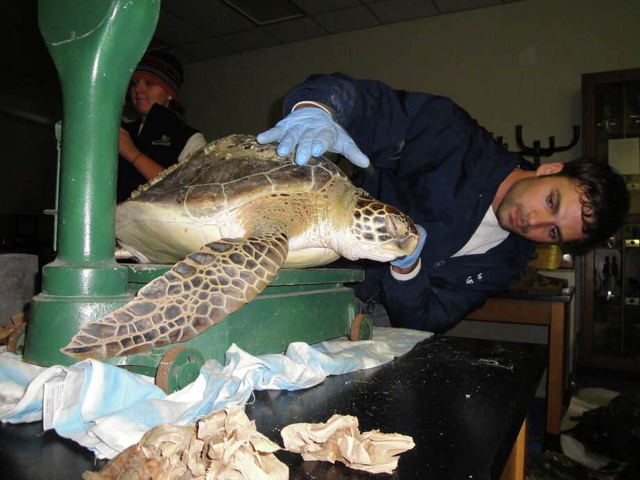 Volunteer Tom Wilson, a student at UT-Brownsville, helps weigh and measure some of the more than 400 cold-stunned green sea turtles rescued off South Padre Island. Photo: Lynn Brezosky/Express-News