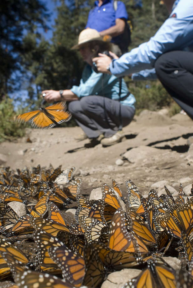 Monarch butterflies migrate annually from the U.S. and Canada to the Sierra Madre mountains of Western Mexico.