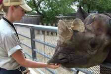 San Antonio Zoo senior zookeeper Marikay Altes tends a black rhino identified as Sababu in July 2007. Sababu's death comes just months after that of her mate, Herbie. She had been at the zoo for 23 years.