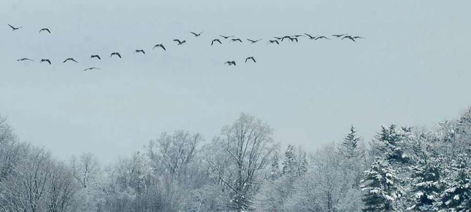 Geese fly over the Sasco Beach area in Fairfield, Conn. on Saturday, Jan. 8, 2011. Photo: Cathy Zuraw / Connecticut Post