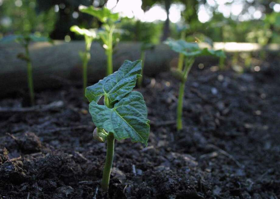 ADVANCE FOR HOME AND GARDEN-- A bean seedling emerges in the garden of Bob  Frere.  Rick Hunter/Staff Photo: Rick Hunter, Staff / San Antonio Express-News