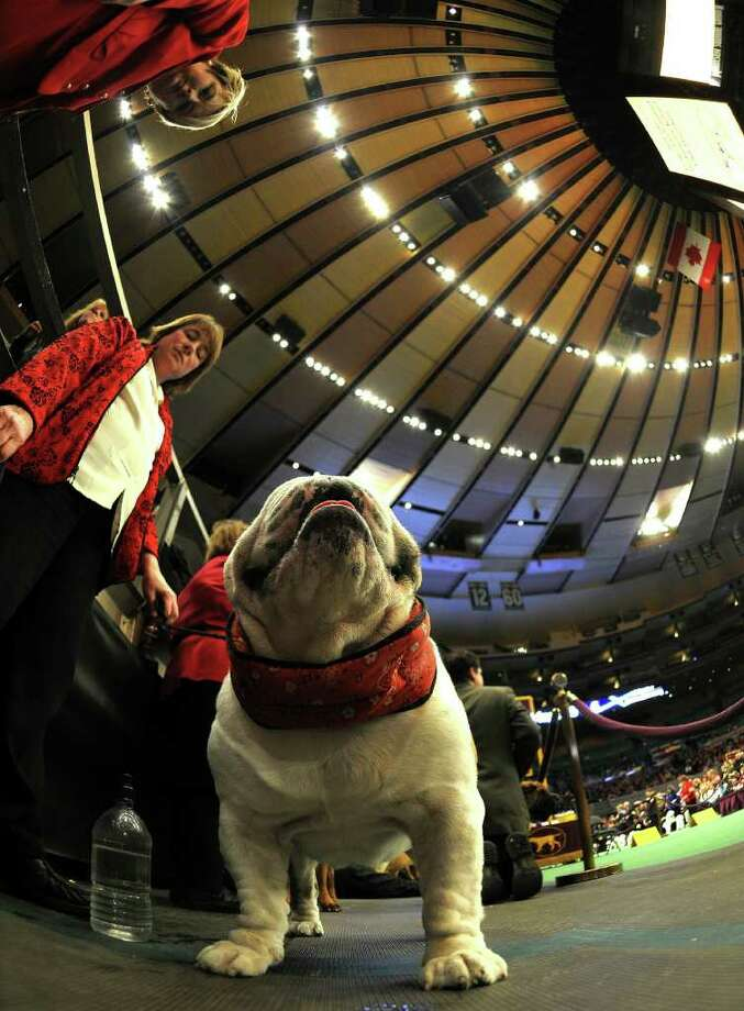 A Bulldog waits to go in the judging ring during the 135th Westminster Kennel Club Dog Show at Madison Square Garden in New York, February 14, 2011. AFP  PHOTO / TIMOTHY A. CLARY (Photo credit should read TIMOTHY A. CLARY/AFP/Getty Images) Photo: TIMOTHY A. CLARY