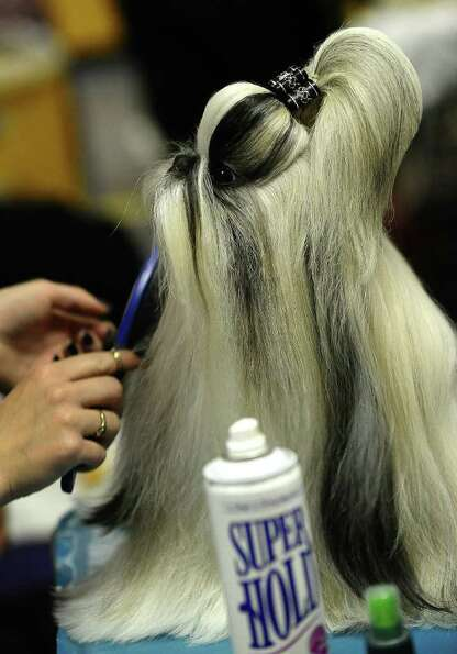 A Shih Tzu is groomed backstage during the 135th Westminster Kennel Club Dog Show at Madison Square