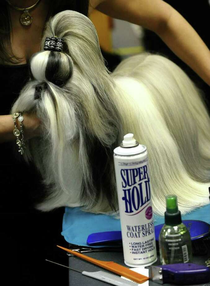 A Shih Tzu is groomed backstage during the 135th Westminster Kennel Club Dog Show at Madison Square Garden in New York, February 14, 2011. AFP  PHOTO / TIMOTHY A. CLARY (Photo credit should read TIMOTHY A. CLARY/AFP/Getty Images) Photo: TIMOTHY A. CLARY