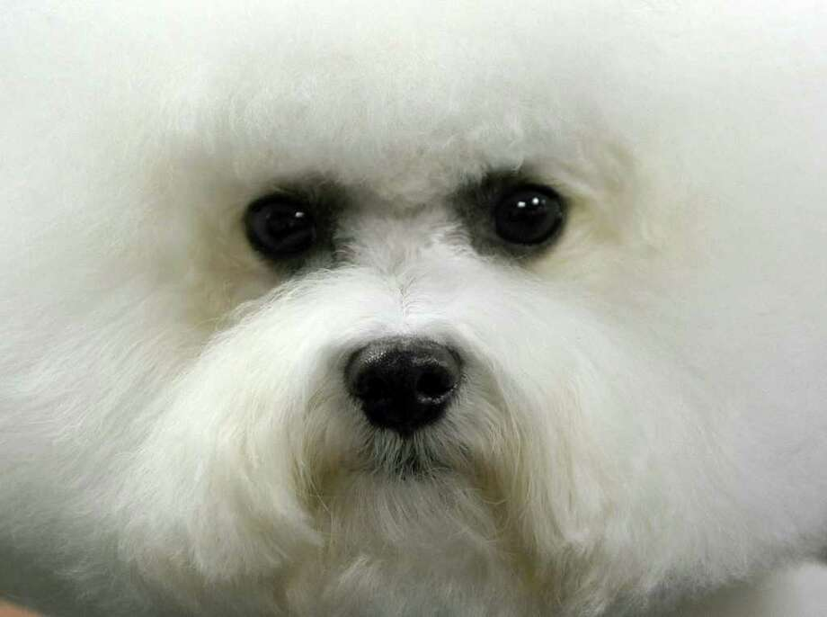 A Bichon Frise waits to get groomed backstage during the 135th Westminster Kennel Club Dog Show at Madison Square Garden in New York, February 14, 2011. AFP  PHOTO / TIMOTHY A. CLARY (Photo credit should read TIMOTHY A. CLARY/AFP/Getty Images) Photo: TIMOTHY A. CLARY