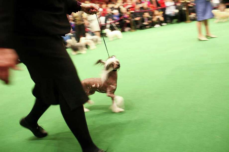 NEW YORK, NY - FEBRUARY 14:  Chinese Crestons compete at the Westminster Kennel Club Dog Show at Madison Square Garden on February 14, 2011 in New York City. The show, one of the most prestigious dog shows in the world, is being held on February 14-15. Over 2,000 dogs will be competing in this year's show which will also include six new breeds to the competition.  (Photo by Spencer Platt/Getty Images) Photo: Spencer Platt