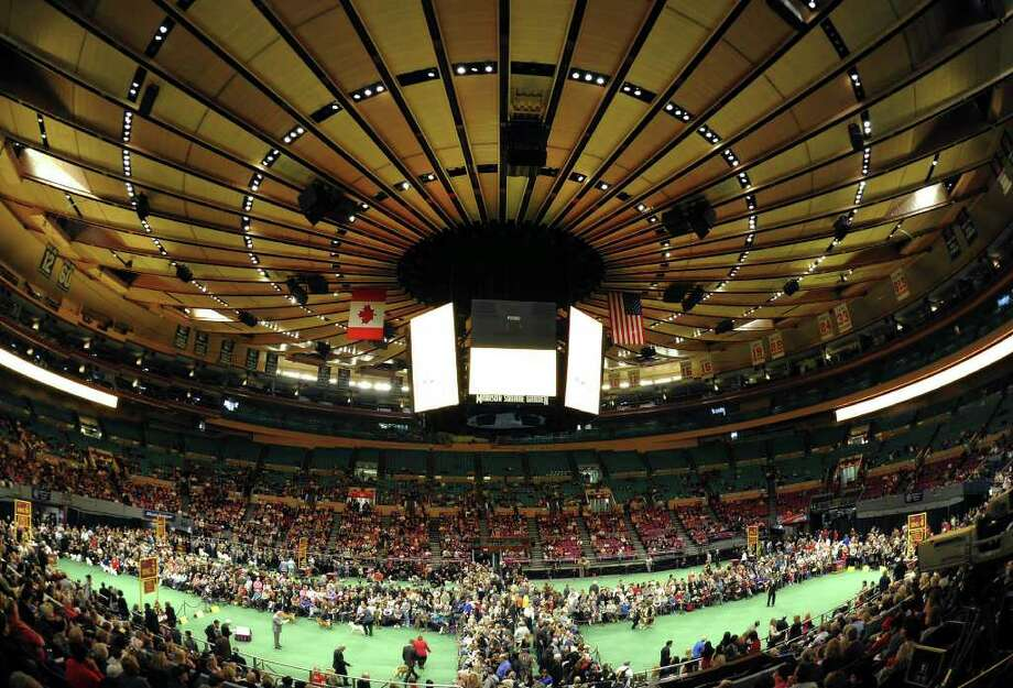 Breeds in the judging ring during the 135th Westminster Kennel Club Dog Show at Madison Square Garden in New York, February 14, 2011.  America's best behaved, most carefully coiffed dogs hit the catwalk Monday at the annual Westminster Kennel Club Dog Show in New York. A total of 2,626 four-legged beauties, representing 179 breeds, were chasing the elusive Best in Show title to be decided late Tuesday. AFP  PHOTO / TIMOTHY A. CLARY (Photo credit should read TIMOTHY A. CLARY/AFP/Getty Images) Photo: TIMOTHY A. CLARY