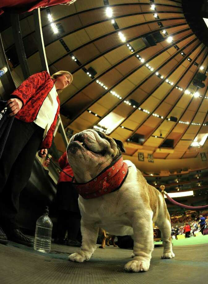 A Bulldog waits to go in the judging ring during the 135th Westminster Kennel Club Dog Show at Madison Square Garden in New York, February 14, 2011.  America's best behaved, most carefully coiffed dogs hit the catwalk Monday at the annual Westminster Kennel Club Dog Show in New York. A total of 2,626 four-legged beauties, representing 179 breeds, were chasing the elusive Best in Show title to be decided late Tuesday.AFP  PHOTO / TIMOTHY A. CLARY (Photo credit should read TIMOTHY A. CLARY/AFP/Getty Images) Photo: TIMOTHY A. CLARY