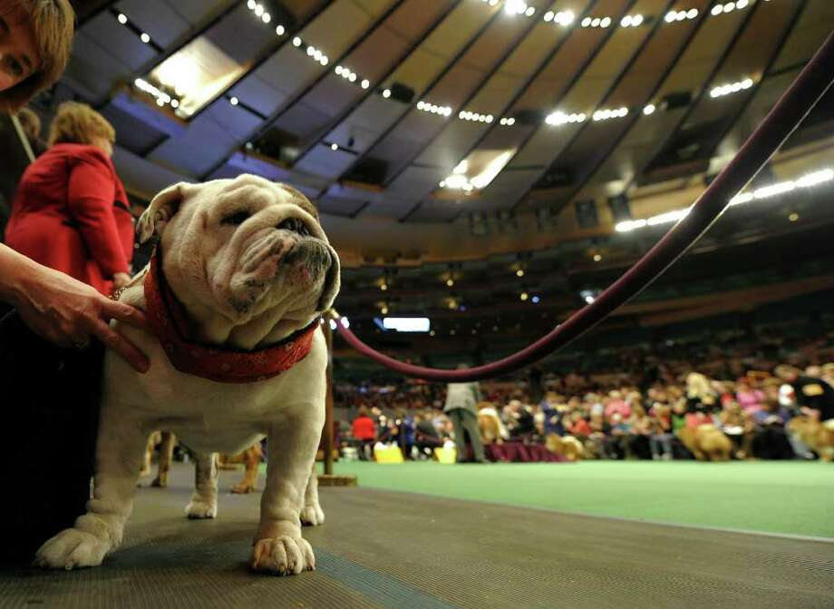 A Bulldog waits to go in the judging ring during the 135th Westminster Kennel Club Dog Show at Madison Square Garden in New York, February 14, 2011.  America's best behaved, most carefully coiffed dogs hit the catwalk Monday at the annual Westminster Kennel Club Dog Show in New York. A total of 2,626 four-legged beauties, representing 179 breeds, were chasing the elusive Best in Show title to be decided late Tuesday. AFP  PHOTO / TIMOTHY A. CLARY (Photo credit should read TIMOTHY A. CLARY/AFP/Getty Images) Photo: TIMOTHY A. CLARY