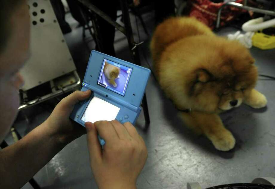 Maddox the Chow Chow backstage during the 135th Westminster Kennel Club Dog Show at Madison Square Garden in New York, February 14, 2011.  America's best behaved, most carefully coiffed dogs hit the catwalk Monday at the annual Westminster Kennel Club Dog Show in New York. A total of 2,626 four-legged beauties, representing 179 breeds, were chasing the elusive Best in Show title to be decided late Tuesday. AFP  PHOTO / TIMOTHY A. CLARY (Photo credit should read TIMOTHY A. CLARY/AFP/Getty Images) Photo: TIMOTHY A. CLARY