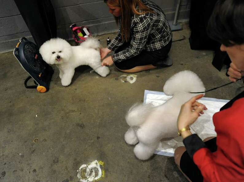 Bichon Frises backstage during the 135th Westminster Kennel Club Dog Show at Madison Square Garden i