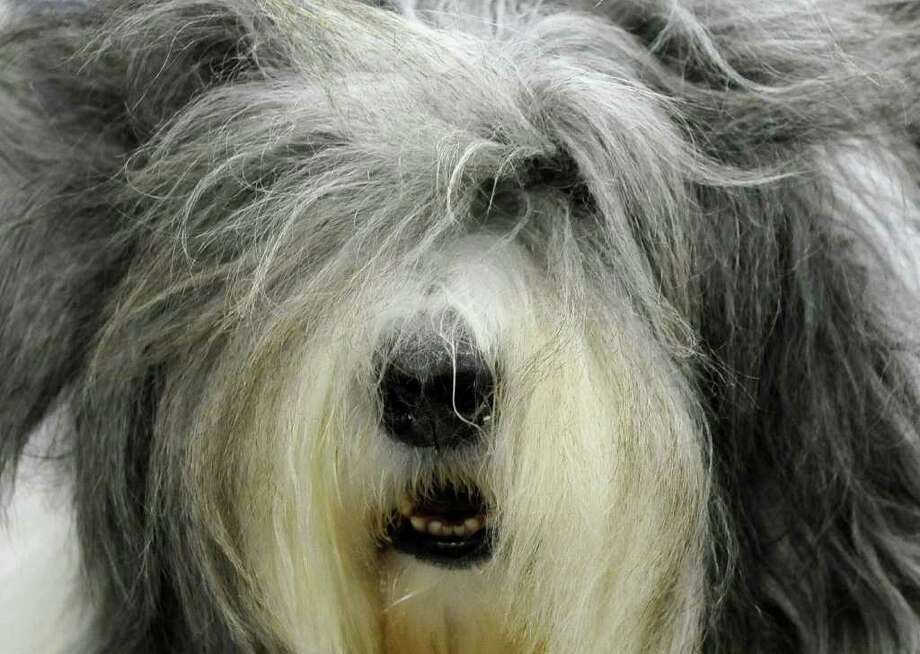 Jordan the Old English Sheepdog is seen backstage during the 135th Westminster Kennel Club Dog Show at Madison Square Garden in New York, February 14, 2011. AFP  PHOTO / TIMOTHY A. CLARY (Photo credit should read TIMOTHY A. CLARY/AFP/Getty Images) Photo: TIMOTHY A. CLARY