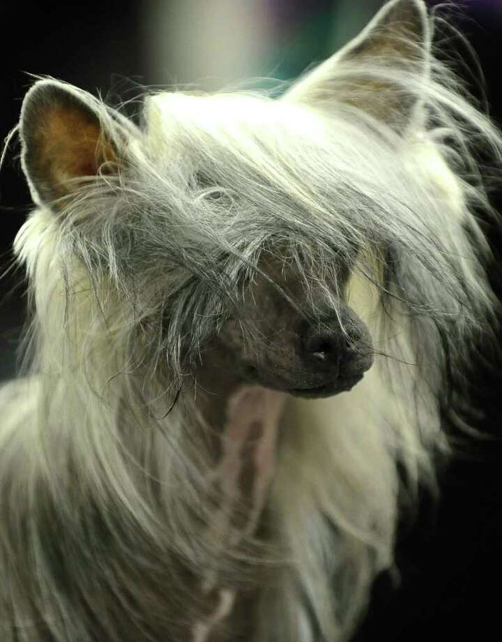 A Chinese Crested backstage during the 135th Westminster Kennel Club Dog Show at Madison Square Garden in New York, February 14, 2011. AFP  PHOTO / TIMOTHY A. CLARY (Photo credit should read TIMOTHY A. CLARY/AFP/Getty Images) Photo: TIMOTHY A. CLARY
