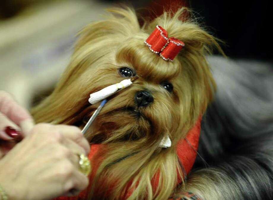 Jack the Yorkshire Terrier is seen backstage during the 135th Westminster Kennel Club Dog Show at Madison Square Garden in New York, February 14, 2011. AFP  PHOTO / TIMOTHY A. CLARY (Photo credit should read TIMOTHY A. CLARY/AFP/Getty Images) Photo: TIMOTHY A. CLARY