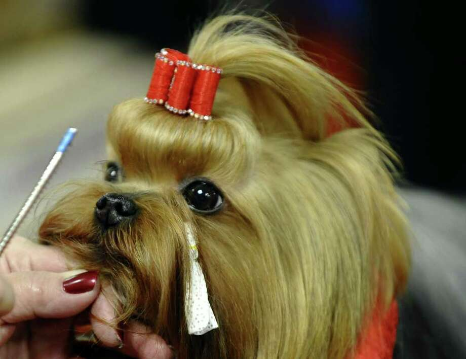 Jack the Yorkshire Terrier backstage during the 135th Westminster Kennel Club Dog Show at Madison Square Garden in New York, February 14, 2011. AFP  PHOTO / TIMOTHY A. CLARY (Photo credit should read TIMOTHY A. CLARY/AFP/Getty Images) Photo: TIMOTHY A. CLARY