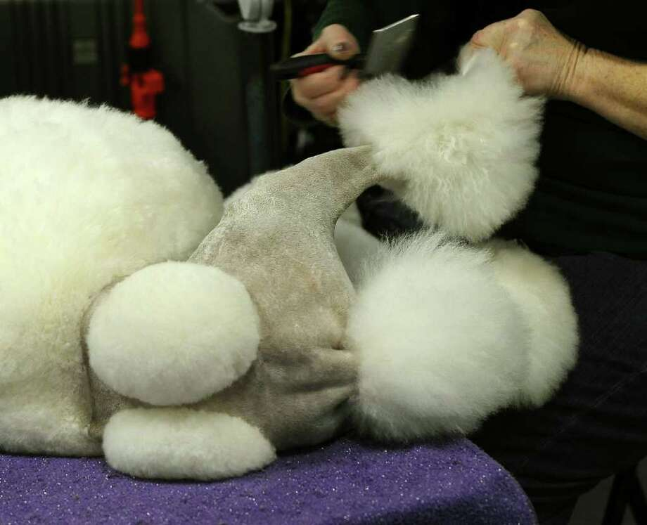 Parker the Standard Poodle is groomed backstage during the 135th Westminster Kennel Club Dog Show at Madison Square Garden in New York, February 14, 2011. AFP  PHOTO / TIMOTHY A. CLARY (Photo credit should read TIMOTHY A. CLARY/AFP/Getty Images) Photo: TIMOTHY A. CLARY
