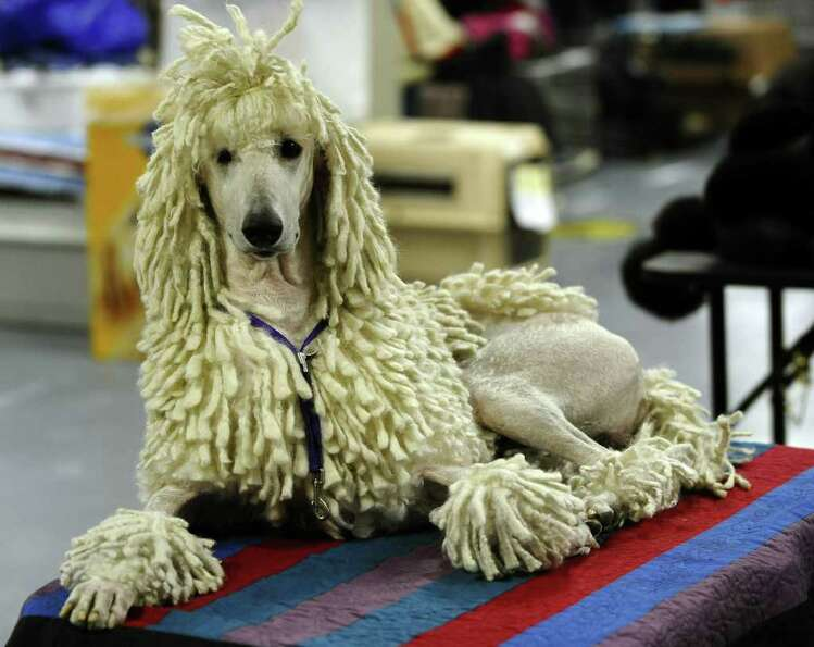 Parker the Standard Poodle backstage during the 135th Westminster Kennel Club Dog Show at Madison Sq
