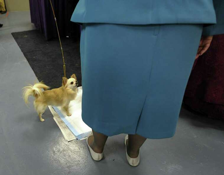 A Chihuahua takes a bathroom break backstage during the 135th Westminster Kennel Club Dog Show at Ma