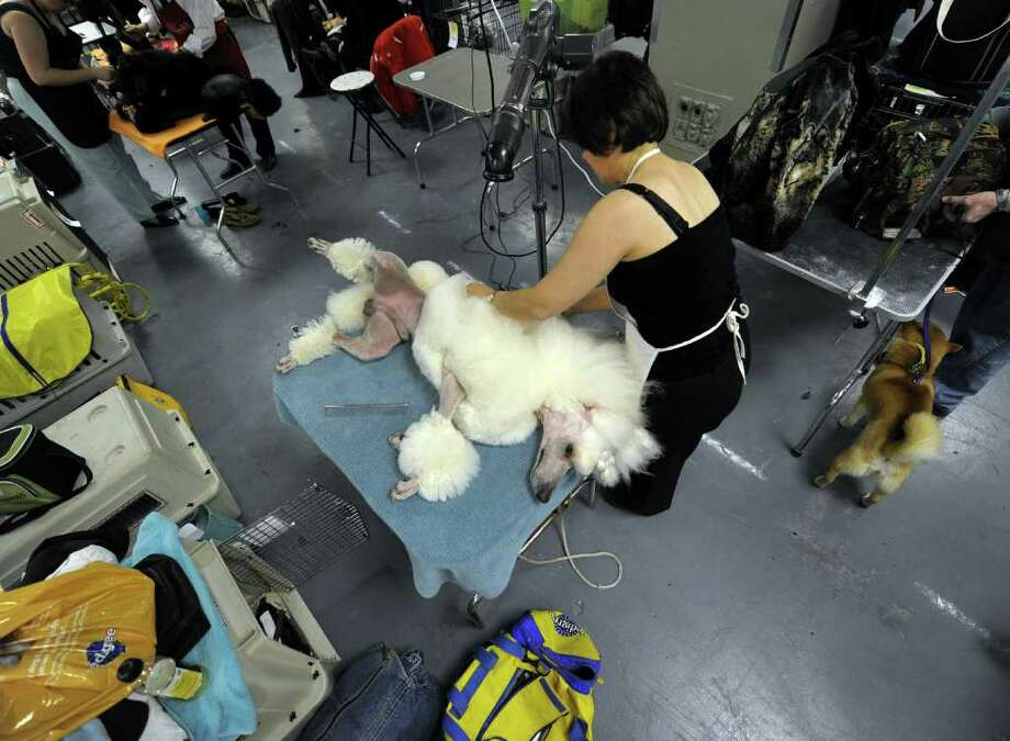 Reno the Standard Poodle  getting groomed  backstage during the 135th Westminster Kennel Club Dog Show at Madison Square Garden in New York, February 14, 2011. AFP  PHOTO / TIMOTHY A. CLARY (Photo credit should read TIMOTHY A. CLARY/AFP/Getty Images) Photo: TIMOTHY A. CLARY